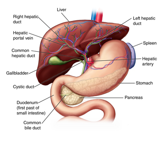 Anatomy of the liver and biliary system with blood vessels